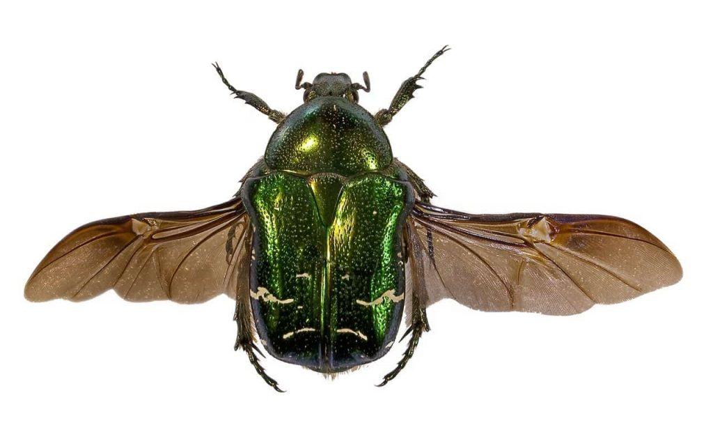 Cetonia aurata scarabeo dorato